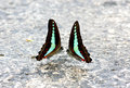 Common Bluebottle Graphium Sarpedon Butterfly Stock Image - 41240301