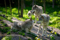 Wolf Pack Of Three Wolves Stock Images - 41249994