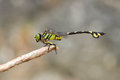 Golden Flangetail Dragonfly Stock Images - 41272534
