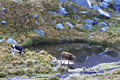 Cows - Huascaran National Park, Peru Stock Photo - 41280920