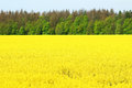Canola Field, Yellow Rape Flowers Royalty Free Stock Images - 41292809