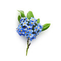 Forget-me-not Flowers Royalty Free Stock Photo - 41296685