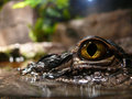Closeup Of A Crocodile Royalty Free Stock Images - 4133589