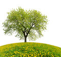 Tree On Dandelion Field Stock Photography - 41300272