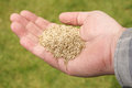 Grass Seed Stock Images - 41307104
