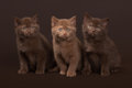 Several Young British Kittens Stock Images - 41310324