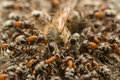 Ants Swarm Eating Dead Bee Stock Photography - 41314282