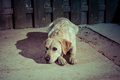 Sad Looking Dog On The Street In  Lantern Light Royalty Free Stock Photography - 41328247
