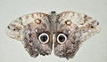Moth Close Up Grey Large With Rings On Wings Stock Images - 41330784