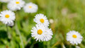 Field With White Daisies Royalty Free Stock Photo - 41340325
