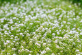 A Green Meadow With Little White Flowers Royalty Free Stock Photography - 41345597