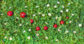Ladybug Toys On Lawn With Lots Of Small Daisy Flowers Stock Image - 41361061