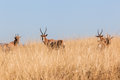 Buck Herd Grasslands Wildlife Animals Royalty Free Stock Photo - 41361495