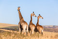 Three Giraffes Together Wildlife Animals Royalty Free Stock Images - 41362799