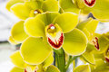 Yellow Orchid Flowers Royalty Free Stock Photography - 41363597