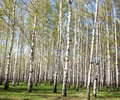 Spring Birches Stock Photography - 41369232
