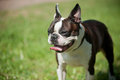 French Bulldog Stock Images - 41373004