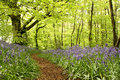 Woodland Path With Bluebells Royalty Free Stock Photos - 41375708