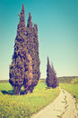 Cypress Trees Royalty Free Stock Photo - 41381315