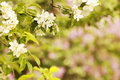 Background On The Tree Beautiful White Flowers Buds Royalty Free Stock Photography - 41389617
