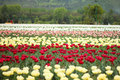 Tulip Field In Kashmir, India Royalty Free Stock Images - 41400309