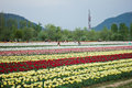 Tulip Field In Kashmir, India Royalty Free Stock Photography - 41400327