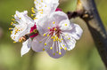 Apple Tree Flowers Stock Photo - 41424280