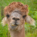 Alpaca Chewing Stock Photos - 41426233