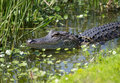 American Alligator In Florida Wetland Stock Images - 41435904
