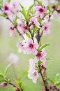 Peach Tree Flowers Royalty Free Stock Photos - 41459888