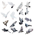 Seventeen Doves Isolated On White Background Royalty Free Stock Photos - 41473918