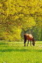 Grazing Horse Stock Images - 41476704