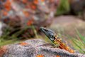 Northern Crag Lizard (Pseudocordylus Transvaalensis) Royalty Free Stock Images - 41480169