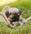 Pug Puppy On The Green Grass With Rope Rope Royalty Free Stock Image - 41493856