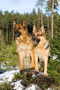 Germany Sheep-dogs Royalty Free Stock Images - 4155039