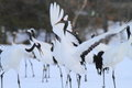 Japanese Crane Or Red-crowned Crane Royalty Free Stock Photos - 41506658