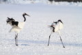 Japanese Crane Or Red-crowned Crane Stock Images - 41507464