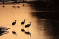 Japanese Crane Or Red-crowned Crane Royalty Free Stock Images - 41507839