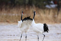 Japanese Crane Or Red-crowned Crane Royalty Free Stock Image - 41507976
