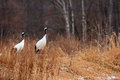 Japanese Crane Or Red-crowned Crane Stock Images - 41508104