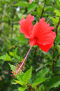 Red Hibiscus Royalty Free Stock Images - 41525999