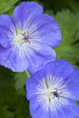 Blue Geranium Flowers Stock Photography - 41558072