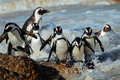 African Penguins Stock Photography - 41573142