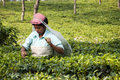 Indian Lady Picking Tea Leaves In The Tea Garden Stock Images - 41573564