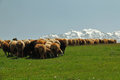 Crowd Of Sheeps Stock Photo - 41592570
