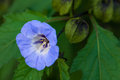 Shoo Fly Plant Nicandra Physalodes Blue Bell Like Flower Stock Images - 41594374