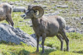 Big Horn Sheep Portrait On Rocky Mountains Canada Stock Image - 41619111
