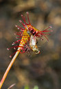 Flies Caught By Sundew Stock Photography - 41648282