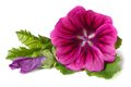 Vibrant Flower Wild Mallow With A Bud Isolated Stock Photography - 41652722