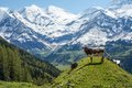 Young Bull In Alps Stock Photography - 41656592